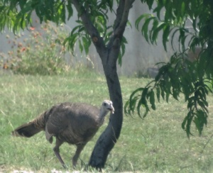 Believe it or not, a wild female Turkey came to visit our pet male Turkey in the petting zoo.