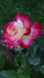 rose VI