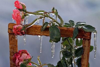 Frozen-Roses