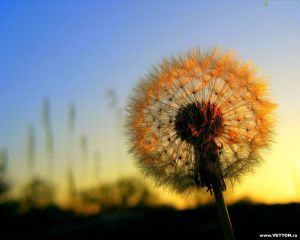 Your Love can spread like a dandelion gone to seed.