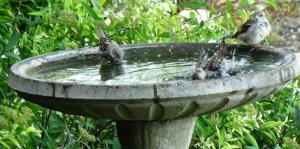 Our birds have been bathing, feeding and protecting us as Natural pesticides.