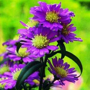 daisies-flowers