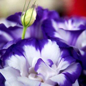 lisianthus-flowers