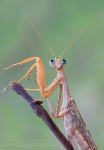gabon__s_sphrodomantis_by_mantide