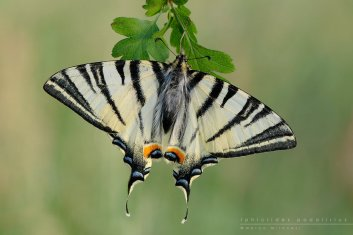 iphiclides_podalirius_by_mantide