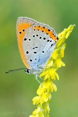 lycaena_dispar_by_mantide