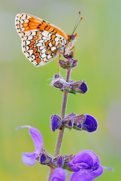 melitaea_phoebe_by_struller
