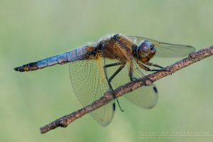 orthetrum__cancellatum_by_mantide