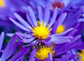 6918_Top-10-Most-Beautiful-Violet-Flowers-165x120