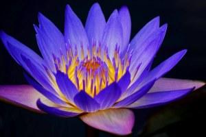 Amazing_Water_Lily_flower_beautiful