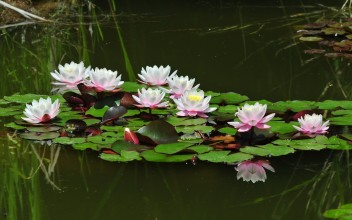 ws_Water_Lilies_Pond_1920x1200