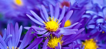 6918_Top-10-Most-Beautiful-Violet-Flowers