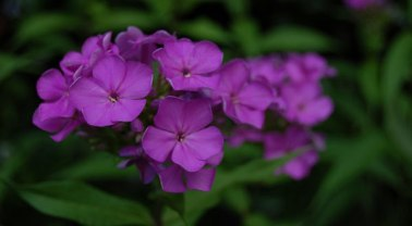 phlox-flower