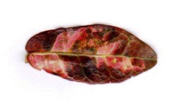 Leaf new one