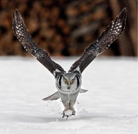 northern-hawk