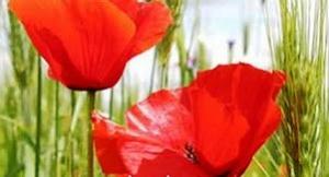 red-flowers-b