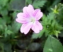 pink-flower-b