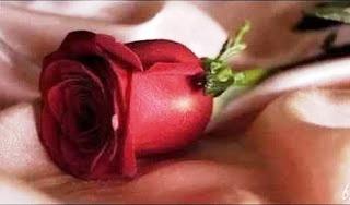 dark-red-rose-b