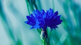 flower-blue-b